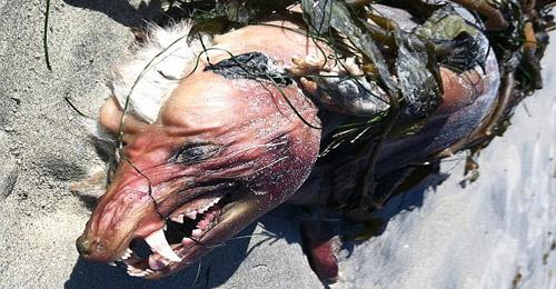 بالصور: حيوان غريب على شاطىء كاليفورنيا يصدم السكان
