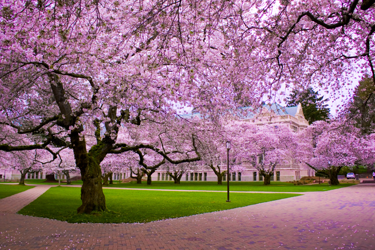الساكورا cherries.jpg