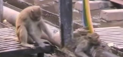 بالفيديو: قرد ينقذ رفيقه المصاب بصدمة كهربائية