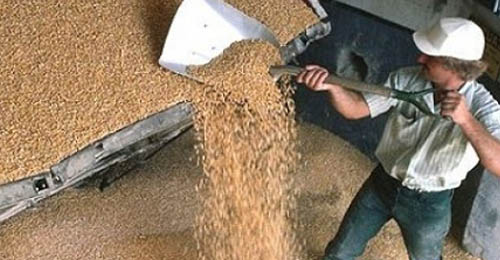 قوارض وحشرات وطيور ومياه آسنة في أهراء القمح ومحيطها !