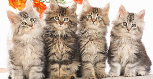 ما هي حقيقة أرواح القطة التسعة؟