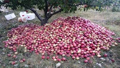 بالفيديو: مزارعو التفاح يشكون التجار… مواسم وفيرة وأسعار متدنية