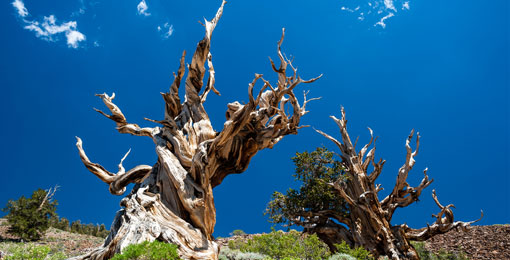 التغير المناخي قد يقضي على أقدم شجرة في العالم