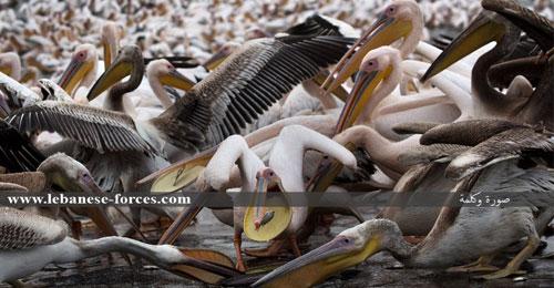 """""""صورة وكلمة"""": طيور البجع تهاجم إسرائيل!"""