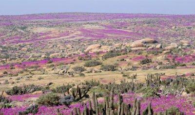 صحراء لكنها تُزهر