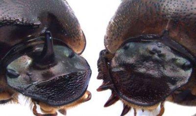 الخنافس المعدلة وراثيا تنمو بعين ثالثة