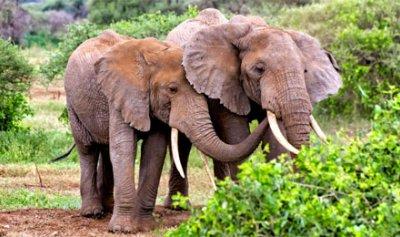 جين الفيل قد ينقذ البشر من السرطان