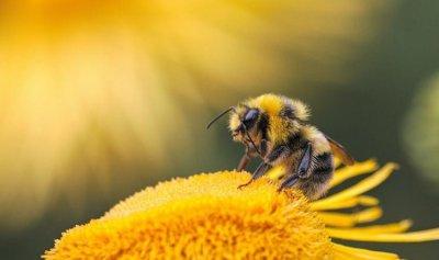 أعراض لسعات النحل وطرق العلاج