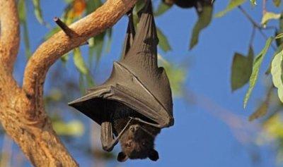 هل من علاقة بين الخفافيش وكورونا؟