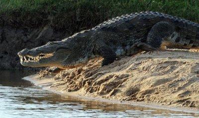 تمساح يخطف صبيا من قارب ويأكله