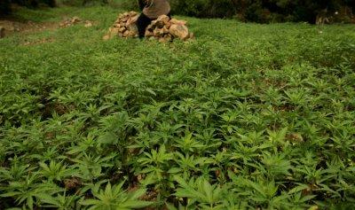 أكثر من 70% من المغاربة يؤيدون زراعة القنب الهندي