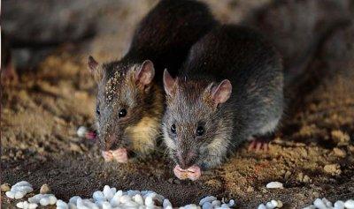 """لماذا جعلت """"كورونا"""" الفئران أكثر عدوانية؟"""