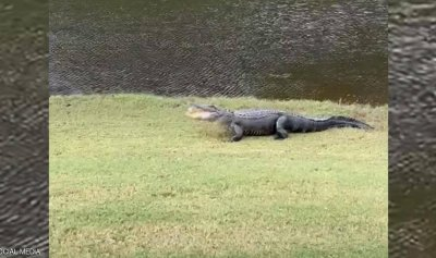 بالفيديو: تمساح يقوم بحركة غريبة في ملعب الغولف