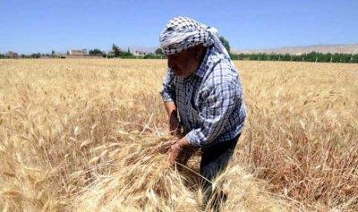 شروط استفادة مزارعي القمح والشعير من الدعم