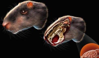 فأر بحجم انسان!