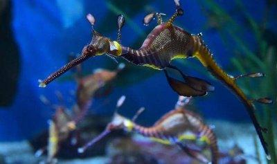 ولادة تنين بحري بحوض للأسماك في أميركا