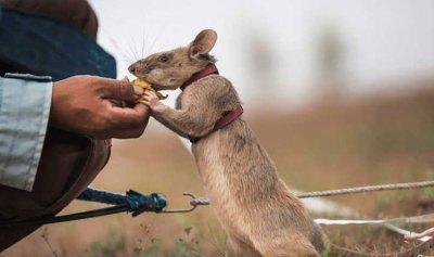 """ميدالية ذهبية نظير الجهود الإنسانية لـ""""الفأر البطل"""""""