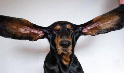 """بالصور: كلب يدخل موسوعة """"غينيس"""" بأطول أذنين"""
