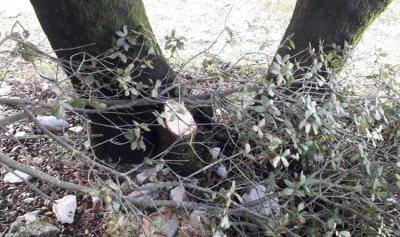 بالصور: مجهولون يقطعون أشجار معمرة من السنديان