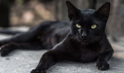 بالفيديو: قط يثأر من ثعلب سرق طعامه!