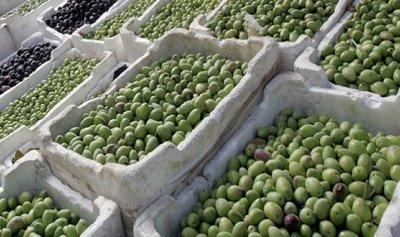 سرق محصول الزيتون في جزين