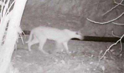 بالصور: حيوان لم يشاهَد منذ 35 عاما
