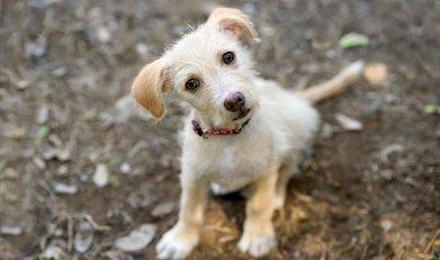 علماء يكشفون سر العيون الحزينة لدى الكلاب