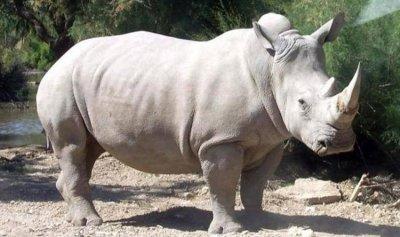 وحيد قرن هائج يلاحق سياحاً!