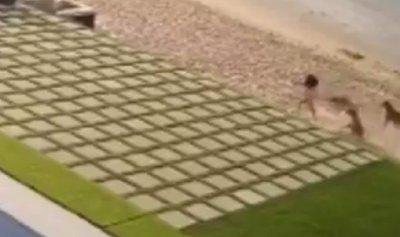 بالفيديو: كلاب شاردة تهاجم طفلة على الشاطئ في الكويت