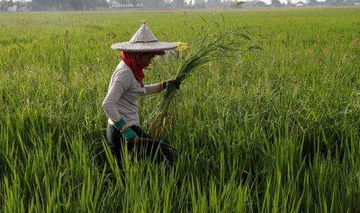 قرية تتخلص من النفايات بالأرز!
