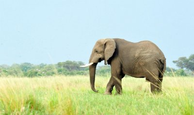 """بالفيديو: فيل """"معصّب"""" يدحرج سيارة بين قدميه"""
