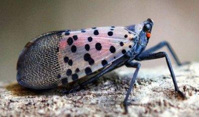 حشرات فتاكة تغزو ولايتين أميركيتين