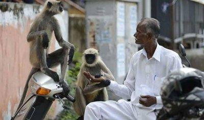 القرود الهندية والإنتخابات