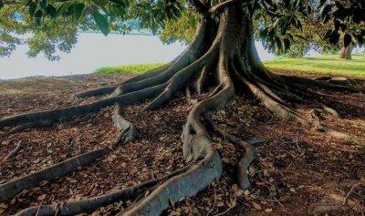 شجرة تين تكشف مقبرة قديمة!